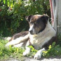 Старый, добрый пёс :: Маргарита Батырева