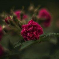 Роза в пасмурный день. :: Василий Ярославцев
