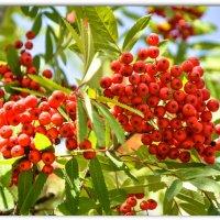 Рябины гроздья алые в саду :: Василий Хорошев