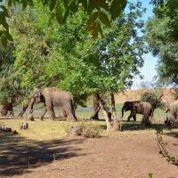 Слоны на прогулке. :: Евгений Кузнецов