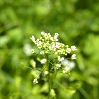 Эстафетацвета. Зелёный четверг - Пастушья сумка :: Наталья (ShadeNataly) Мельник