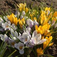 первоцветы-весенняя сказка :: Светлана Ларионова