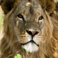Царь зверей на отдыхе :: Мила ...
