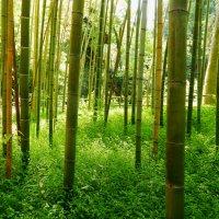 Бамбуковая роща :: Лиза Ворончихина