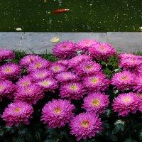 Хризантемы на страже золотой рыбки, к пруду не подойти. :: Татьяна Помогалова