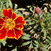 Пора цветения бархатцев :: Нина Корешкова