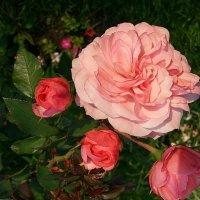 Где цветёшь ты роза ?! :: Наталья Владимировна