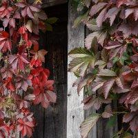 Осень. Дикий виноград. :: Светлана Исаева