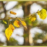 Золотые листья. :: Марина Никулина