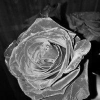 Роза :: fotolv73 Dan