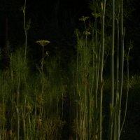 Растим укроп на огороде :: Николай Алексеев