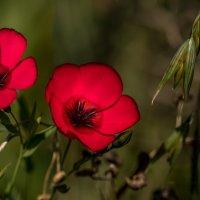 Красные цветы :: Светлана Щербакова