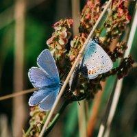 Голубянки на поле :: Anna Sigida