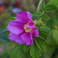 Опять цветет шиповник в сентябре! :: Анна Приходько