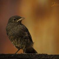 Горихвостка-чернушка... :: Julia Art