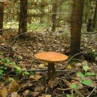 Красная шляпка в еловой посадке :: Виктор Мухин