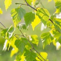 Молодые листья :: Александр Синдерёв