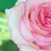 Роза :: Лика Васильева
