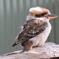 Зоопарк «Featherdale», птичка :: Tatiana Belyatskaya