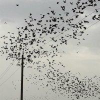 Снова птицы в стаи собираются... :: Ольга Голубева