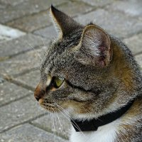 Профиль кошки :: Милешкин Владимир Алексеевич
