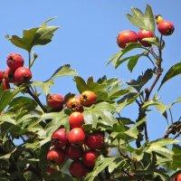 Эта ягода - яблочко-гном :: Татьяна Смоляниченко