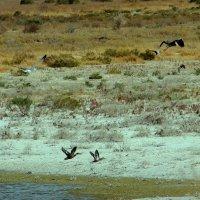 Река Чу, перелётные птицы, утки, цапли :: Алла