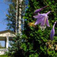 S0127063 Пчела и сиреневый цветок :: Олег Петрушин