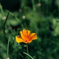 Эшшольция калифорнийская (Eschscholzia californica) :: Anna Sigida