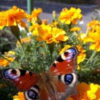 Осенняя бабочка :: Елена Иванкина