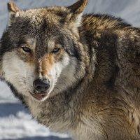 Волк :: Nn semonov_nn