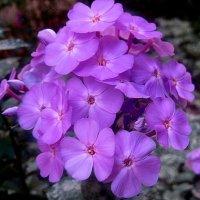 Еще цветут флоксы :: Елена Семигина