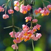 Бересклет бородавчатый (Euonymus verrucosus Scop.) :: Алексей Цветков