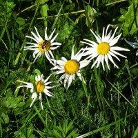 Солнечным сентябрьским днём в Ботаническом саду - Ромашки :: Маргарита Батырева