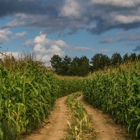 Кукурузное поле :: Игорь Сикорский
