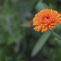 Просто цветочек :: Дмитрий Сиялов