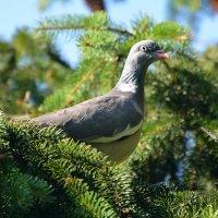 Дикий лесной голубь вяхерь :: Paparazzi