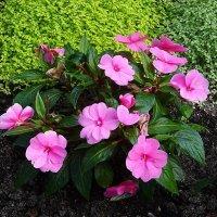 Солнечным сентябрьским днём в Ботаническом саду - Бальзамин :: Маргарита Батырева