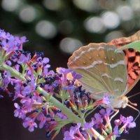 На лужайке бабочки на цветочки сели :: Наталья (D.Nat@lia) Джикидзе (Берёзина)