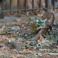 Белка песни не поёт, а орешки всё грызёт :: Олег Чемоданов