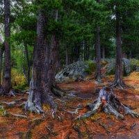 В кедровом лесу 5 :: Альберт Беляев