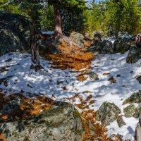 В кедровом лесу :: Альберт Беляев