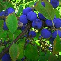 терен-дикие ягоды :: георгий петькун