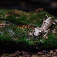 Мадагаскарский плоскохвостый геккон.... :: Александр Вивчарик
