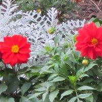 Красные осенние цветы :: Дмитрий Никитин