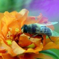 Цветочная муха :: Олег Шендерюк