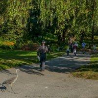 Дикая цапля опять спешит к рыбакам! (Хай Парк, Торонто, Канада) :: Юрий Поляков
