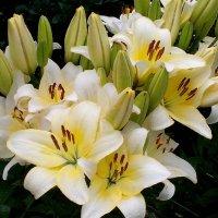 Лилии  в  цвету ! :: Виталий Селиванов