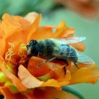 Root-eating fly :: Олег Шендерюк