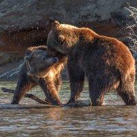 Медвежьи игры :: Галина Шепелева